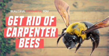 How to Get Rid Of Carpenter Bees around Your House