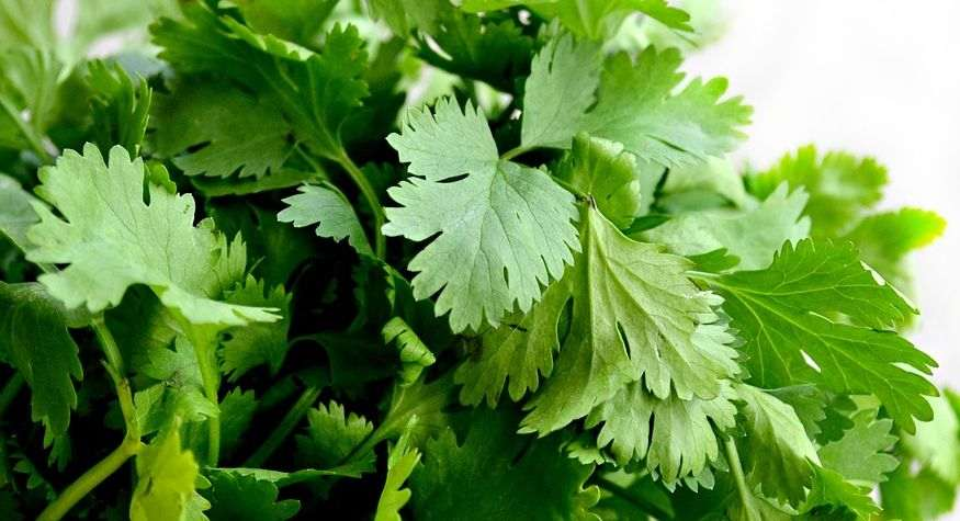 coriander leaves Help You Appetite